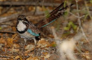 Long-tailed Ground-roller (Uratelornis chimaera)
