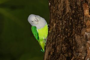 Grey-headed Lovebird (Agapornis cana)