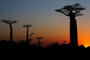 Sunrise and baobabs