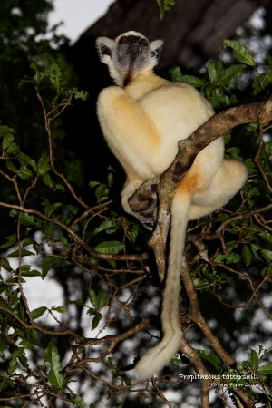 Golden-crowned Sifaka (Propithecus tattersalli)