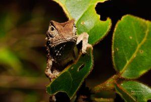 Leaf chameleon (Brookesia sp.)
